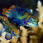 Bunaken-Seabreeze-Unterwasserwelt-Mandarin-Paerchen_570x379-ID2092164-7ca7a066218b6b7fffc57a1ec7126599